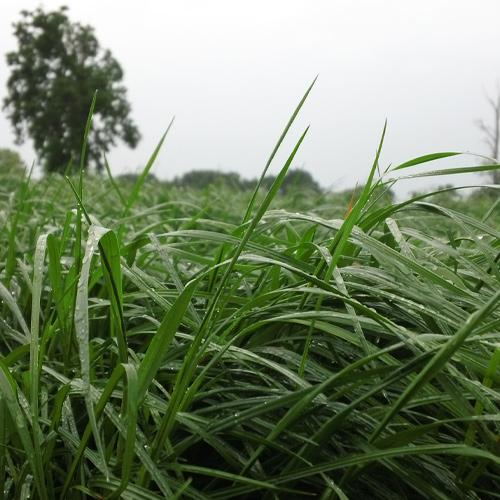 F-Perennial Ryegrass
