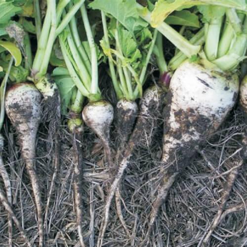 CC-Nematode-radish