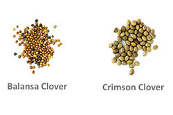 balansa seed comparison