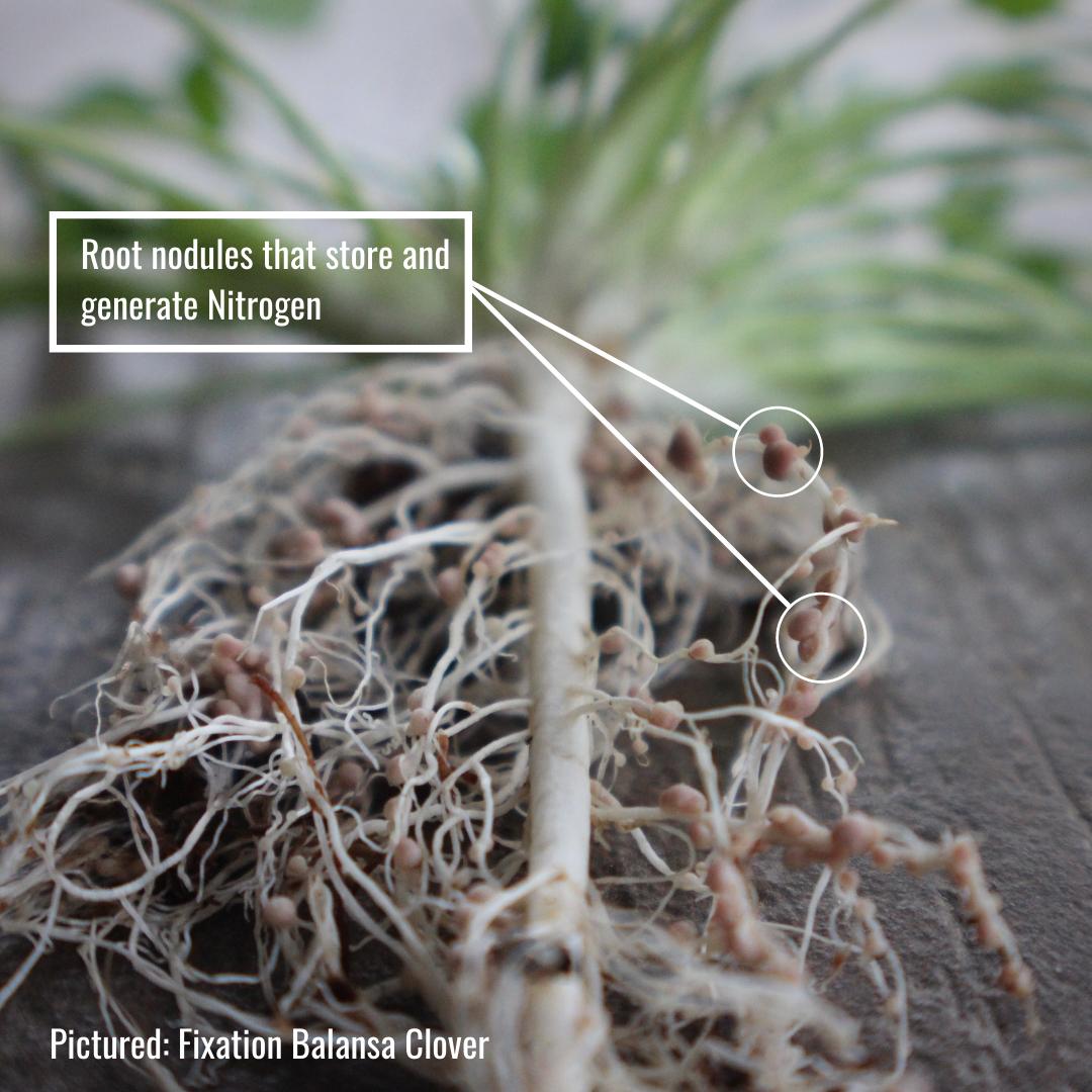 nitrogen nodules