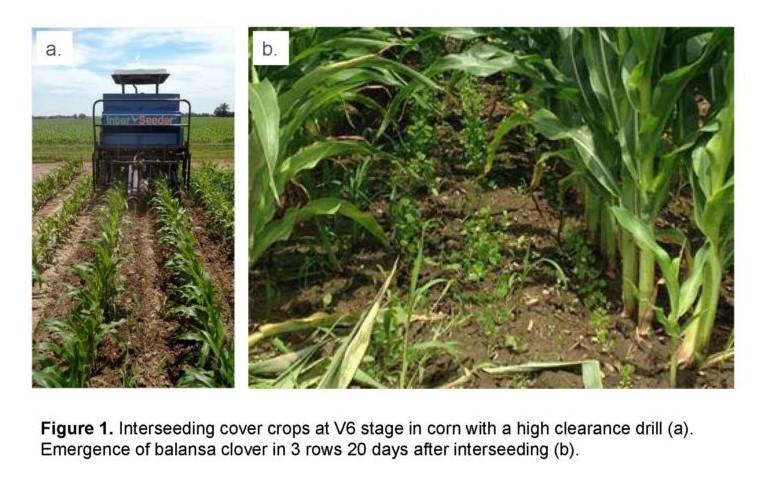 interseeding cover crops into corn at v6