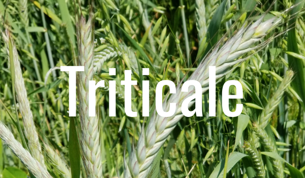 triticale to extend grazing seaso