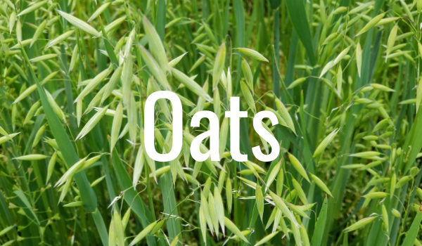 oats to extend grazing season