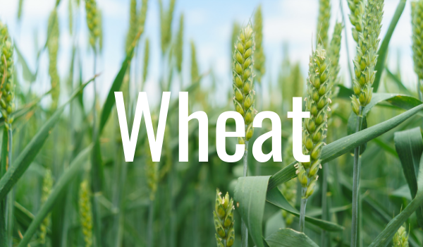 wheat to extend grazing seaso