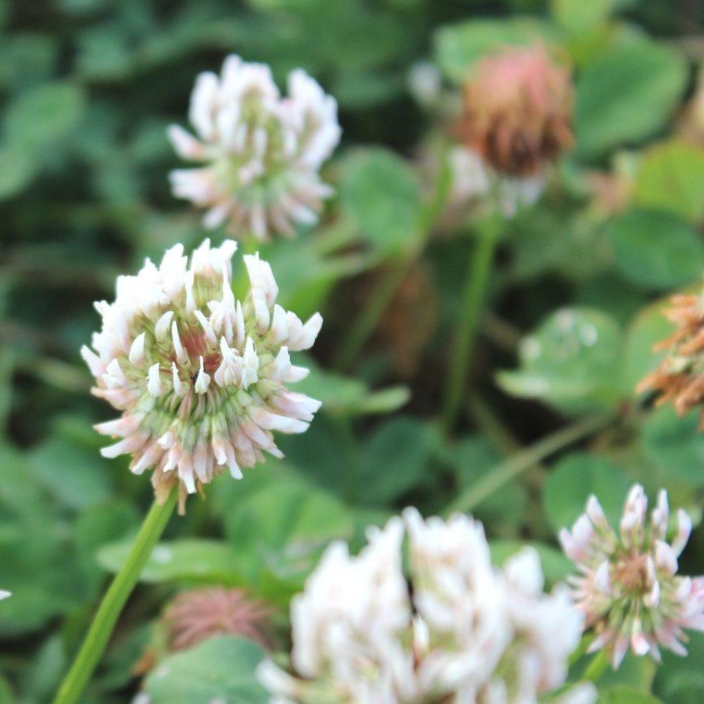 Ladino-clover-featured