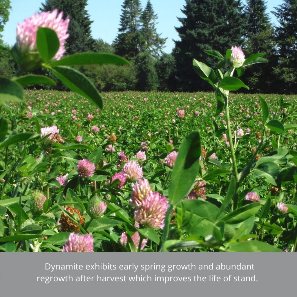 dynamite red clover