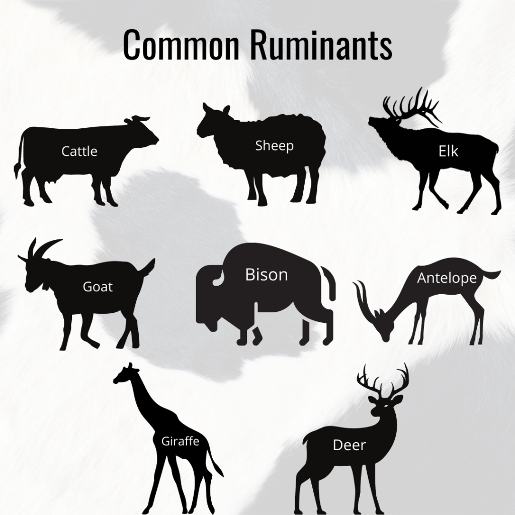 different types of ruminants