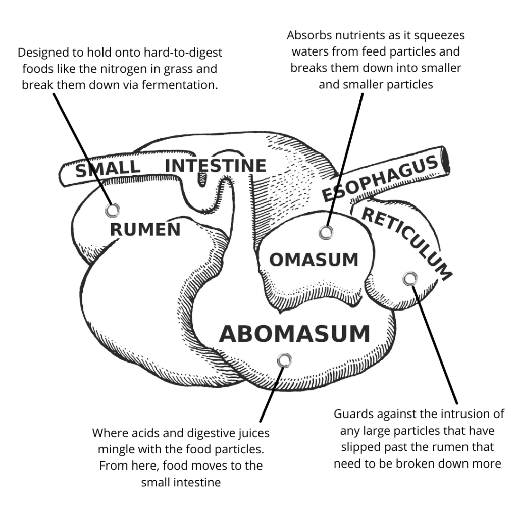 Diagram of Ruminant Digestive System
