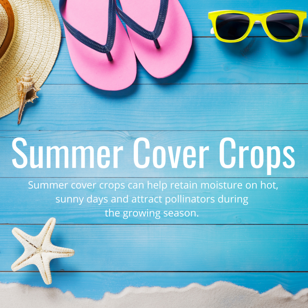 summer cover crops