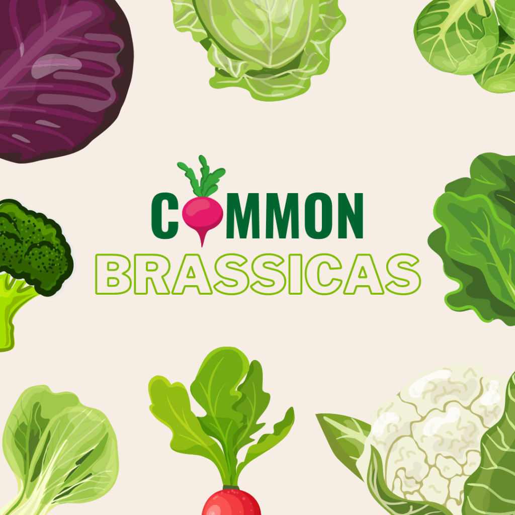 common brassicas for forage